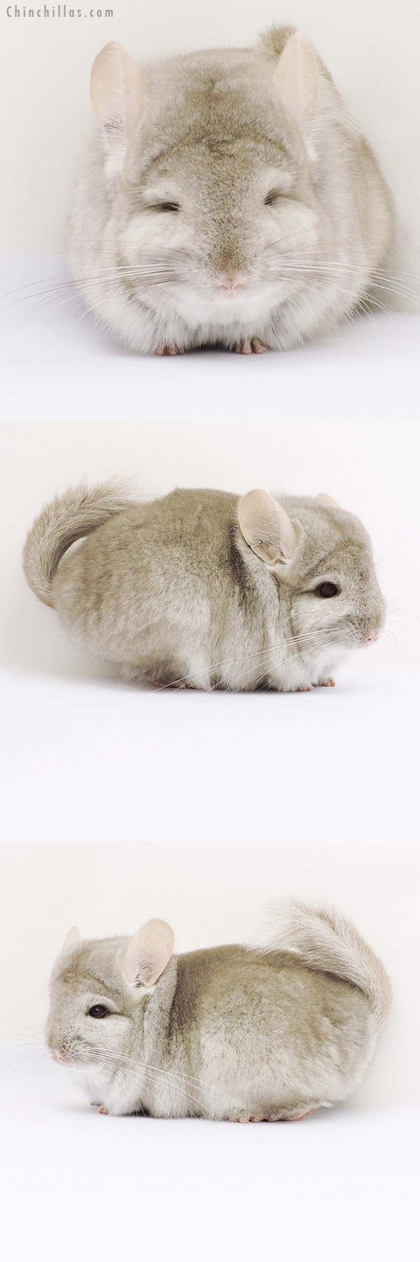 16035 Beige CCCU Royal Persian Angora Male Chinchilla
