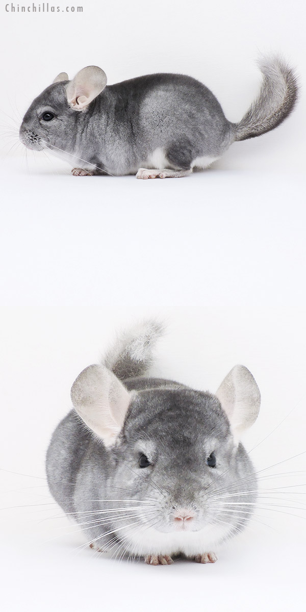 16063 Top Show Quality Sapphire ( Violet Carrier ) Male Chinchilla