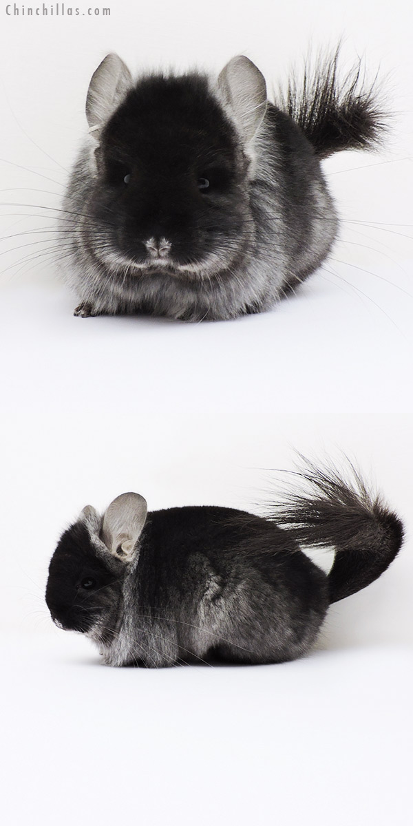 16034 Black Velvet ( Ebony Carrier ) CCCU Royal Persian Angora Male Chinchilla