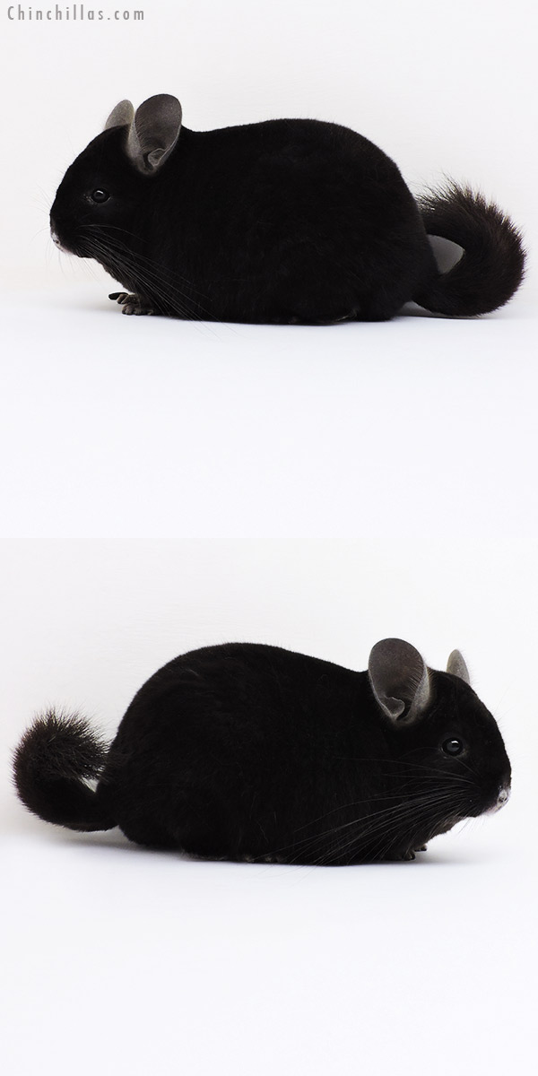 16023 Herd Improvement Quality Ebony Male Chinchilla