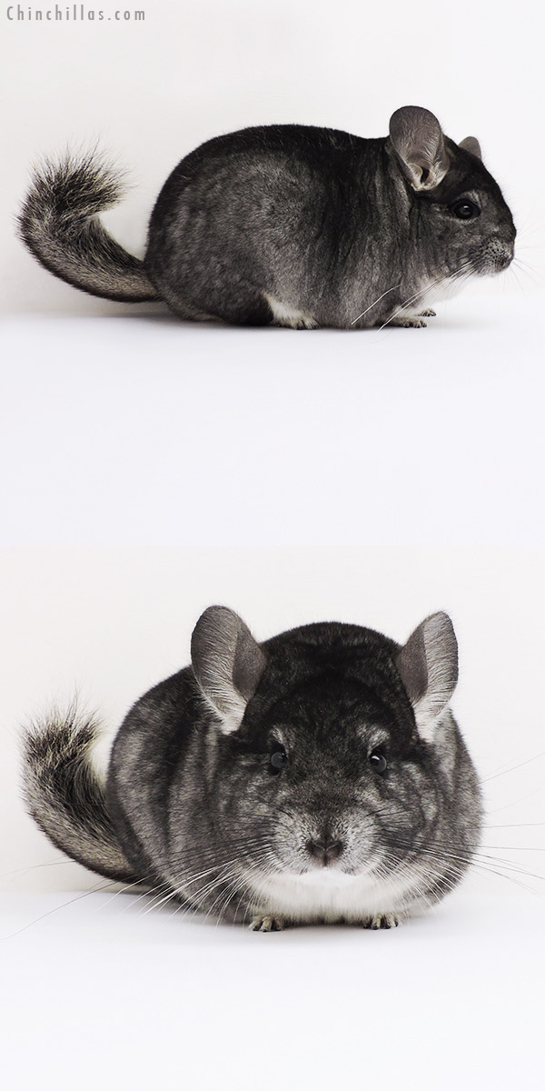 16039 Large Blocky Premium Production Quality Standard Female Chinchilla