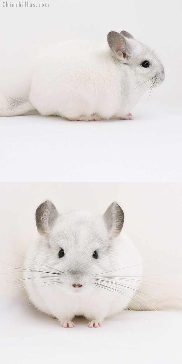 16024 Top Show Quality White Mosaic Male Chinchilla