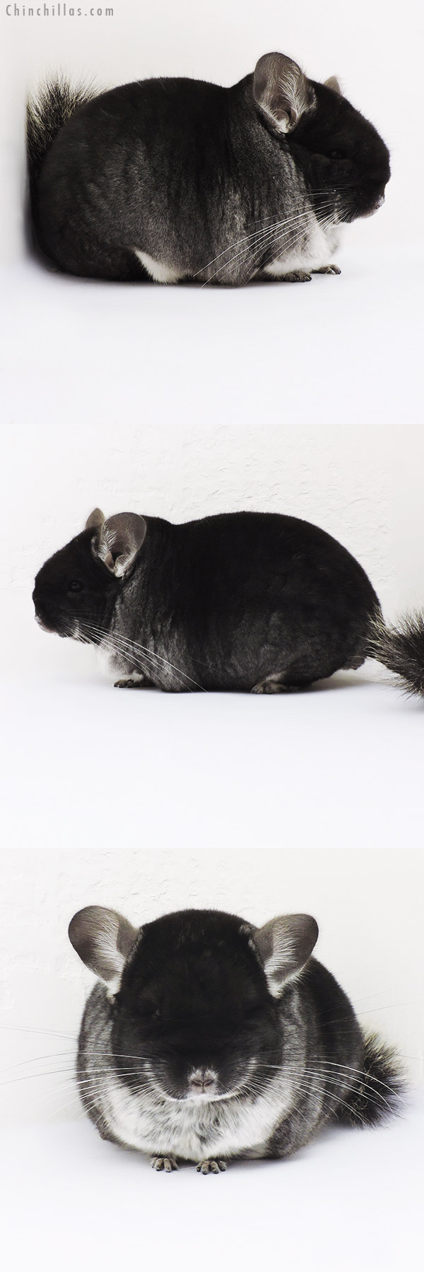 16026 Large Brevi Type Show Quality Black Velvet Male Chinchilla