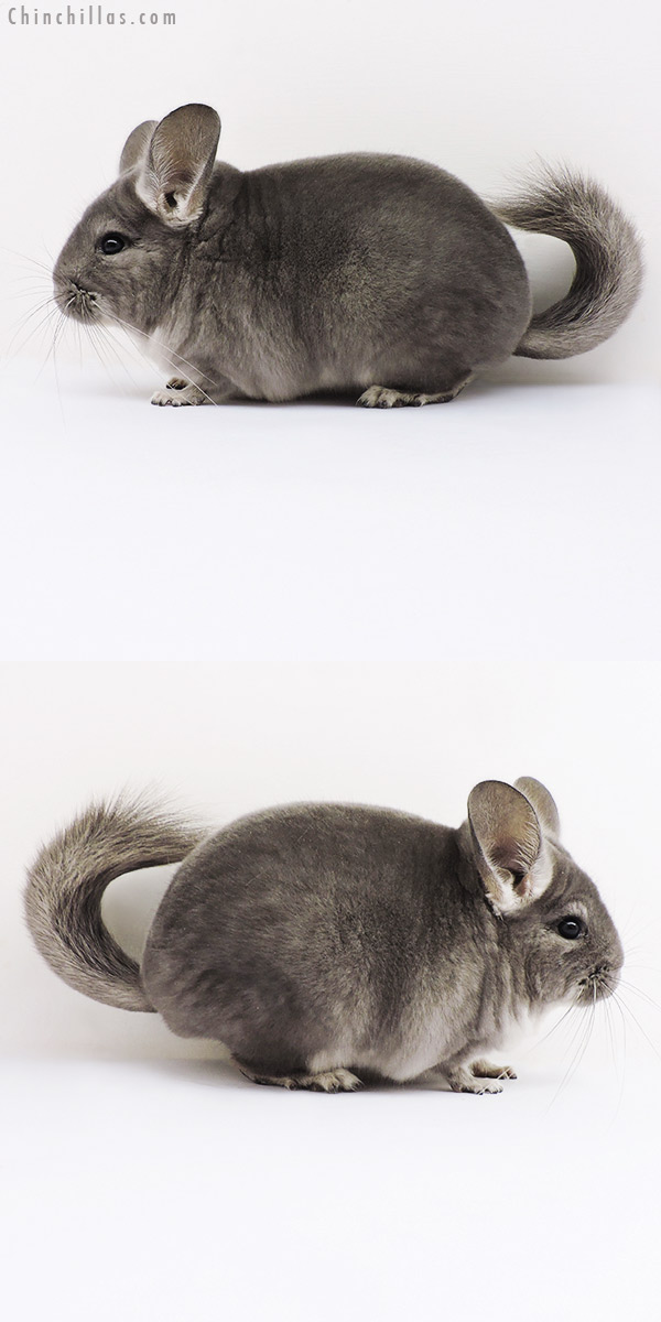 16054 Show Quality Violet ( Ebony Carrier ) Female Chinchilla