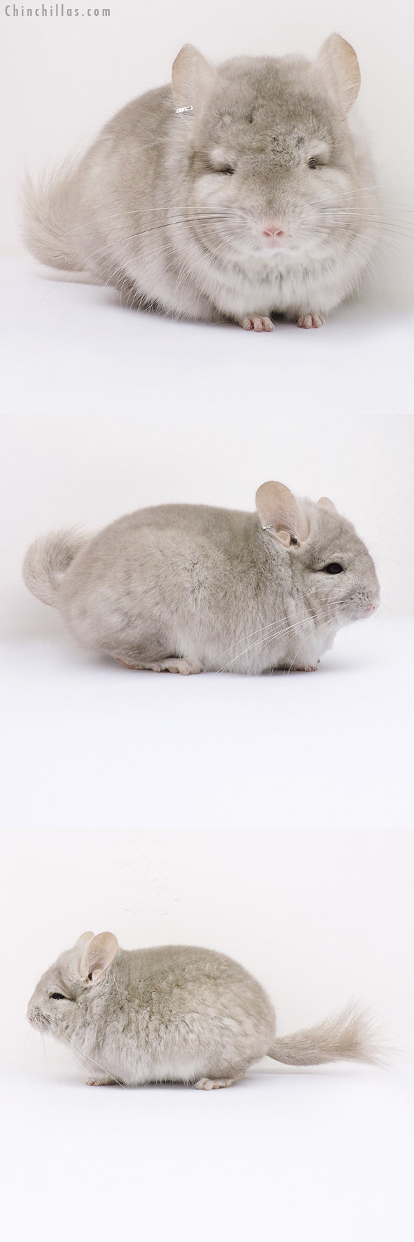 16070 Beige CCCU Royal Persian Angora Male Chinchilla