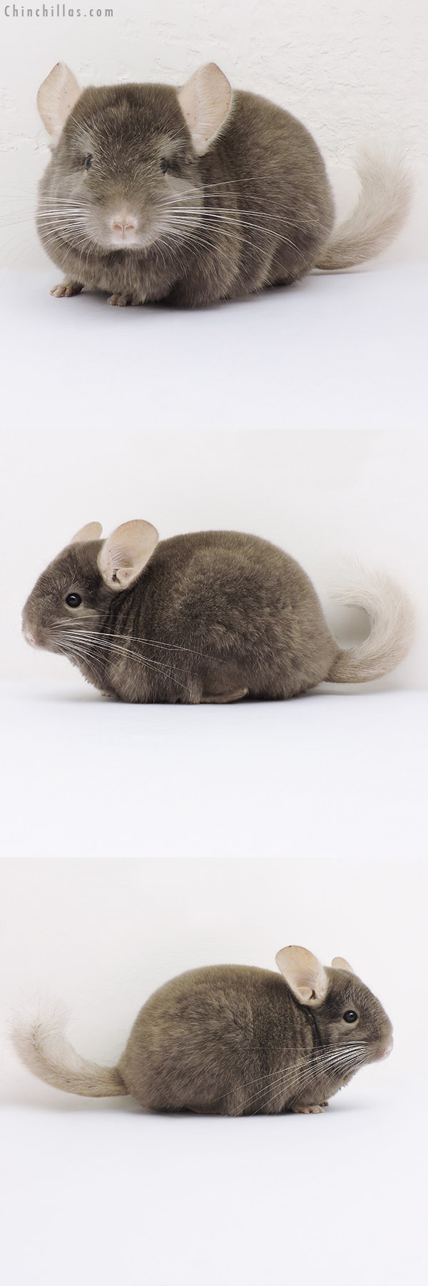 16061 Show Quality Tan Female Chinchilla