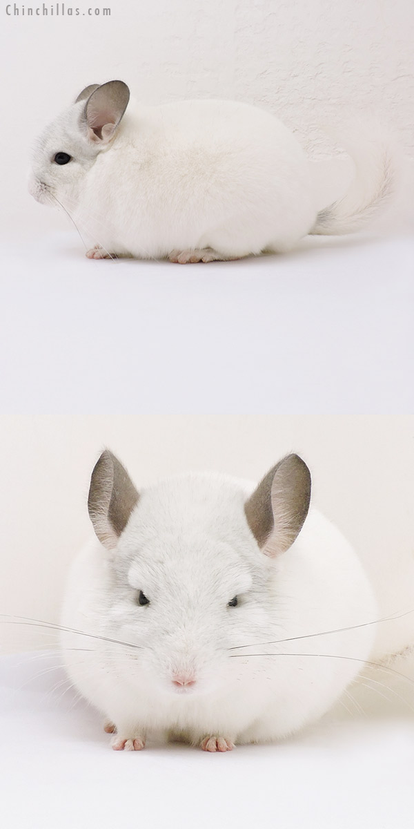 16106 Show Quality Predominantly White Male Chinchilla