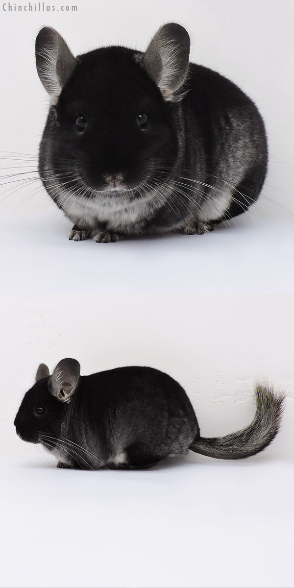 16088 Premium Production Quality Black Velvet ( Ebony Carrier ) Female Chinchilla