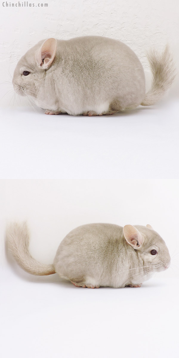 16082 Blocky Premium Production Quality Homo Beige Female Chinchilla