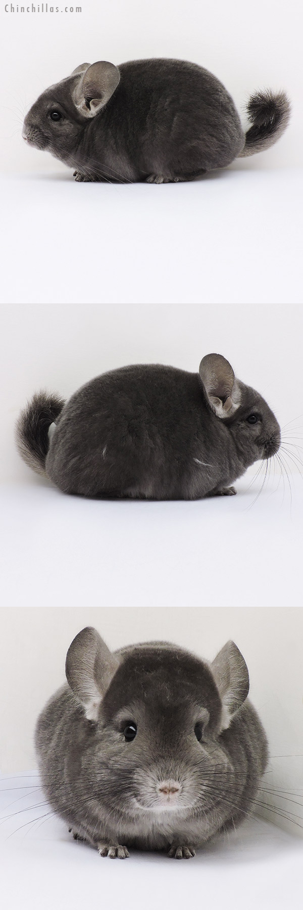 16098 Premium Production Quality Wrap Around Violet Female Chinchilla