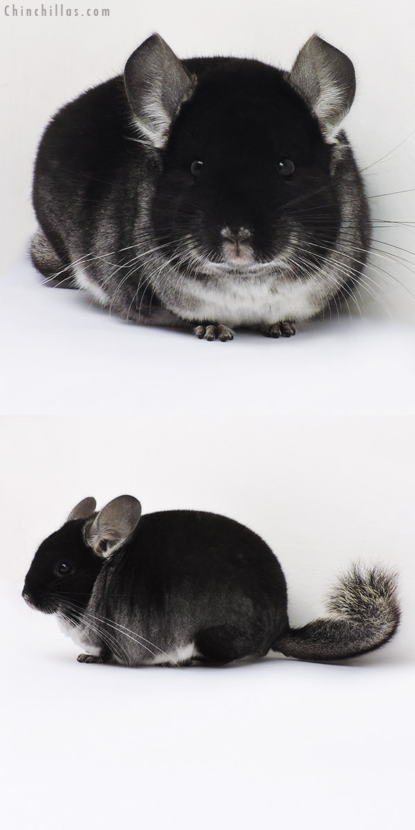 16092 Show Quality Black Velvet Female Chinchilla