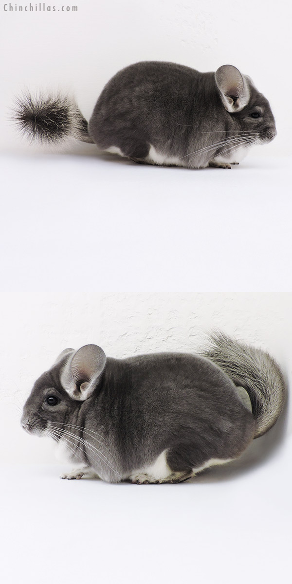 16073 Large Blocky Top Show Quality Violet Male Chinchilla