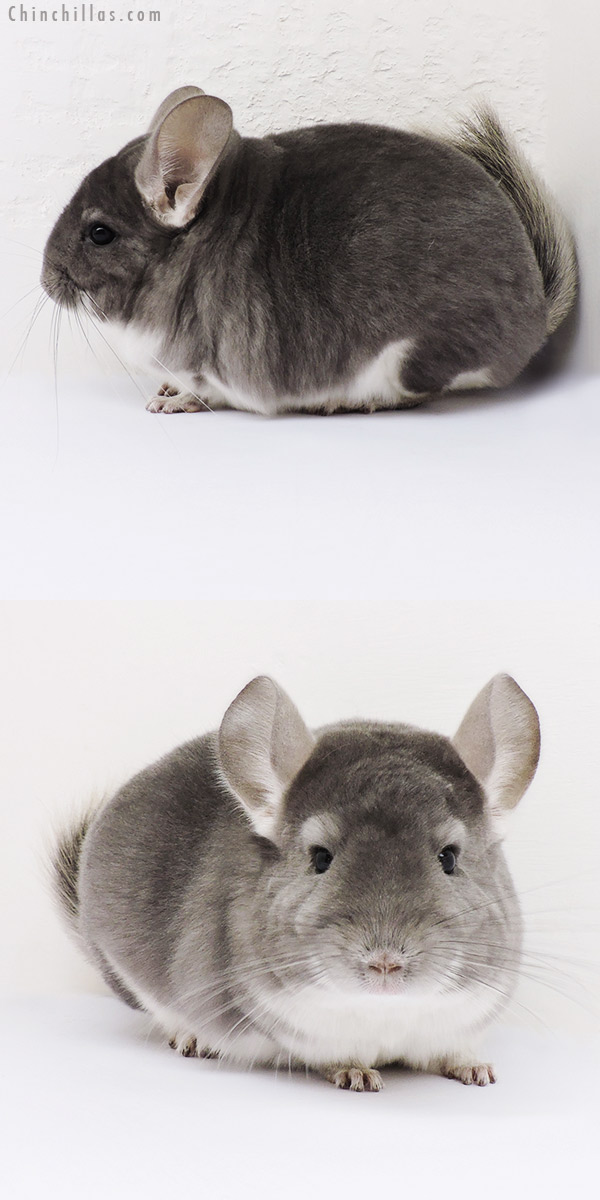 16084 Premium Production Quality Violet Female Chinchilla