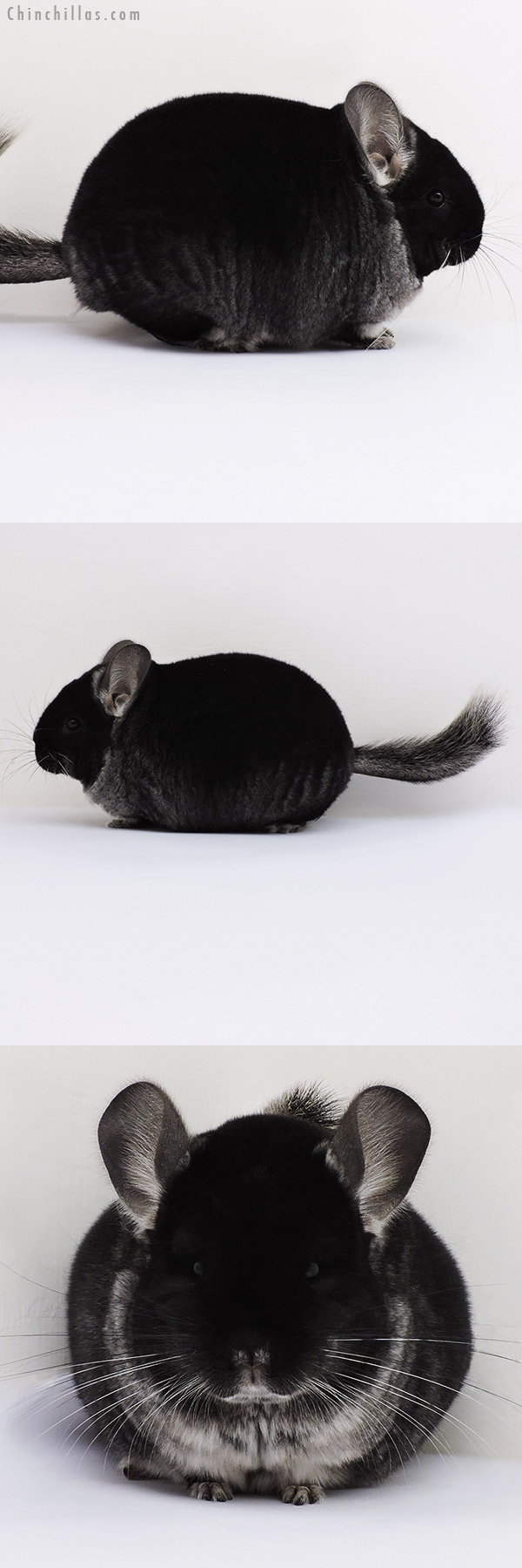 16085 Brevi Type Show Quality Black Velvet Female Chinchilla