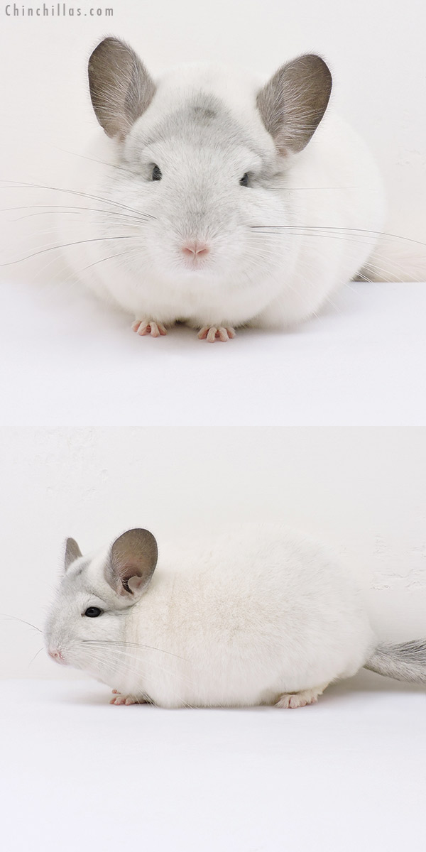 16094 Large Show Quality White Mosaic Female Chinchilla
