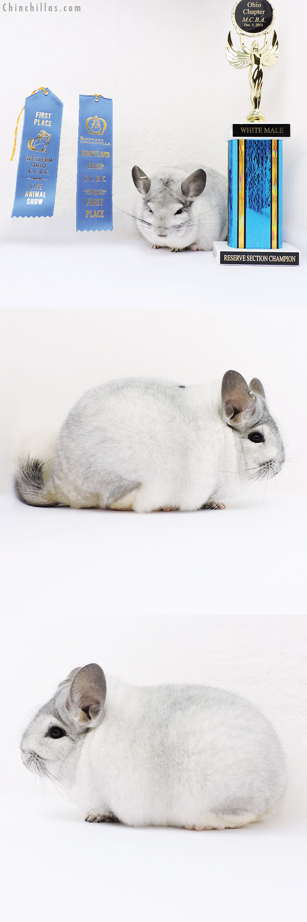 16067 Large Blocky Reserve Section Champion & 1st Place White Mosaic Male Chinchilla