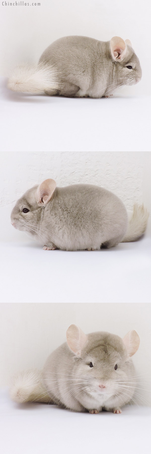 16064 Blocky Herd Improvement Quality Homo Beige Male Chinchilla