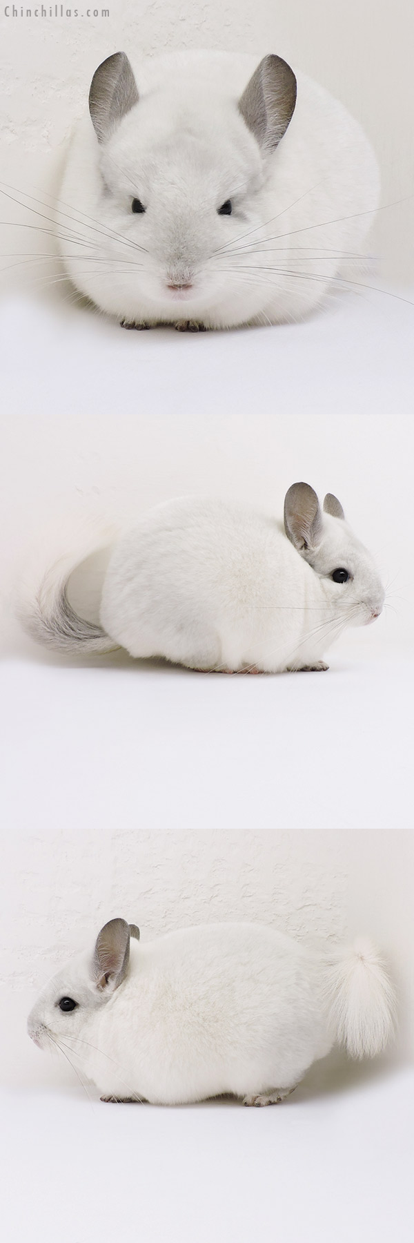 16077 Show Quality Violet & White Mosaic Male Chinchilla