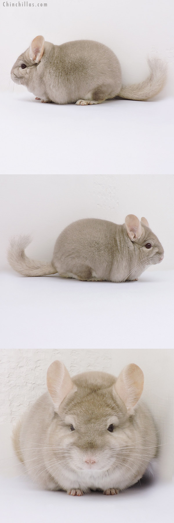 16066 Extra Large Blocky Herd Improvement Quality Homo Beige Male Chinchilla