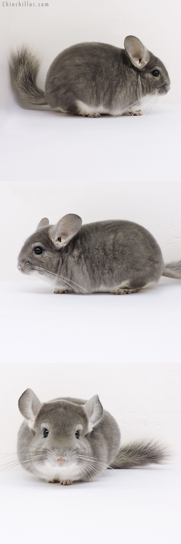 16009 Show Quality Violet Male Chinchilla
