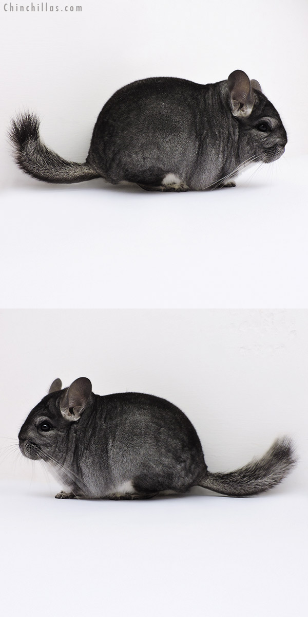 16049 Blocky Show Quality Standard Female Chinchilla