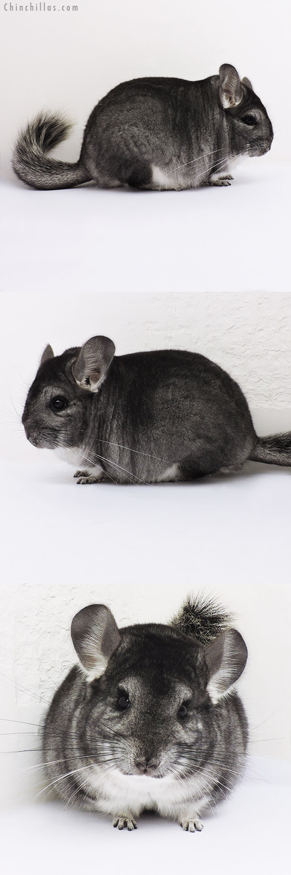 16096 Blocky Show Quality Standard Female Chinchilla