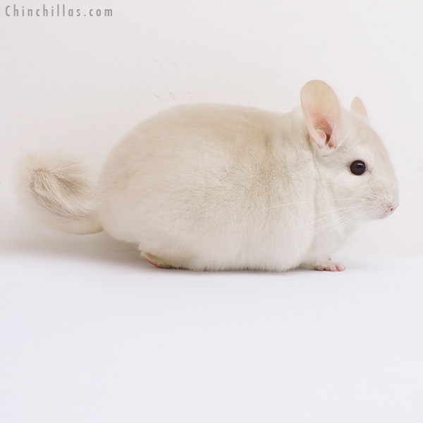16071 Goldbar Male Chinchilla