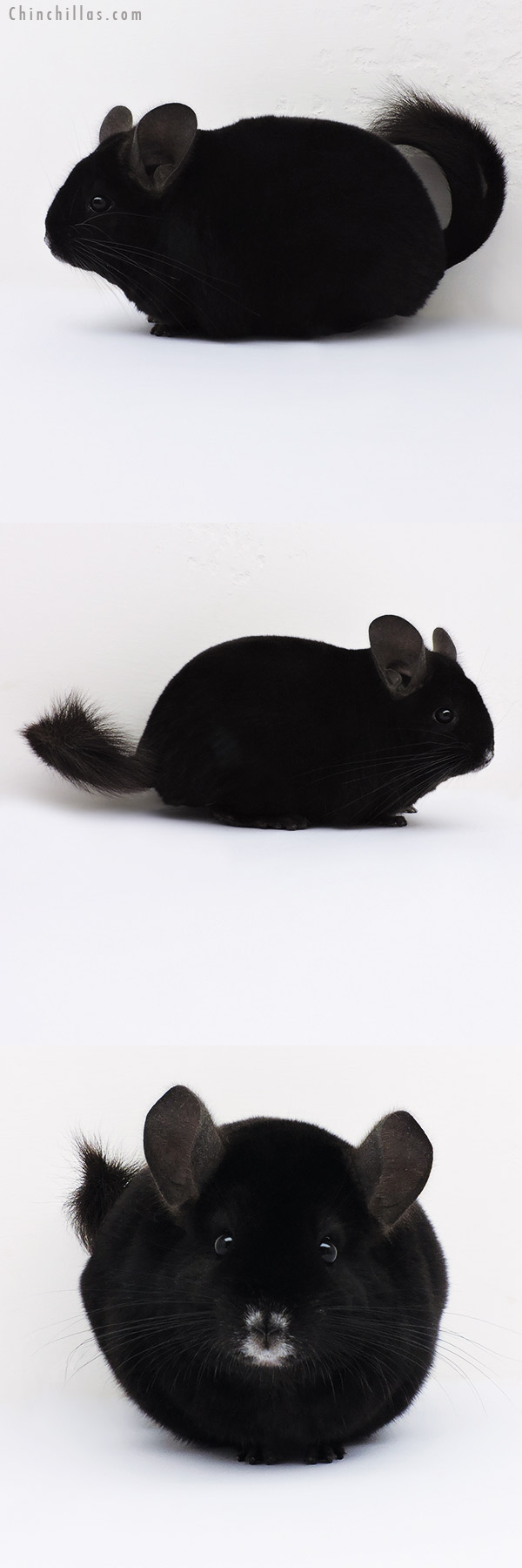 16052 Premium Production Quality Ebony Female Chinchilla
