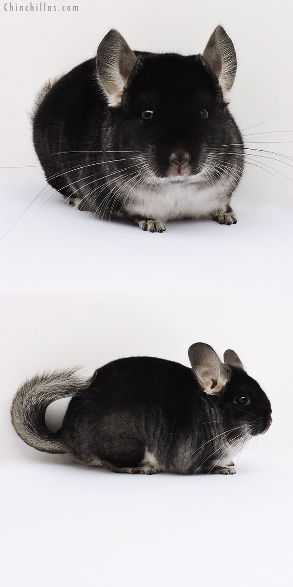 16029 Show Quality Black Velvet Male Chinchilla