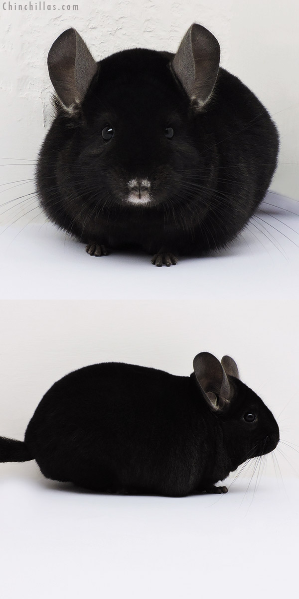 16038 Premium Production Quality Ebony Female Chinchilla