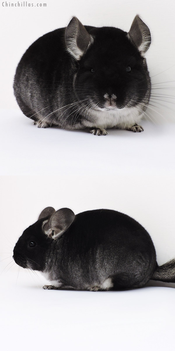 16062 Show Quality Black Velvet Female Chinchilla