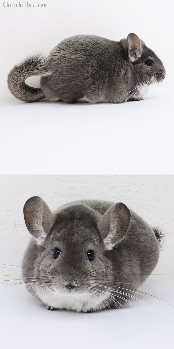 16113 Extra Large Premium Production Quality Violet Female Chinchilla