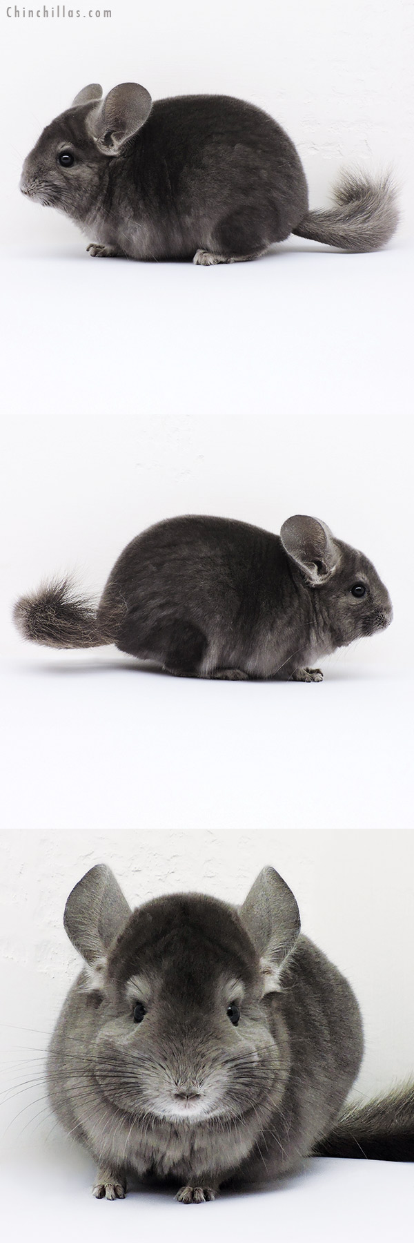 16115 Show Quality Wrap Around Violet Male Chinchilla