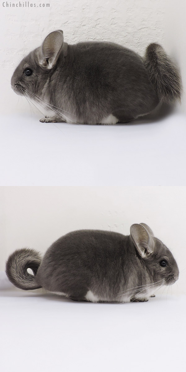 16123 Show Quality Violet Male Chinchilla