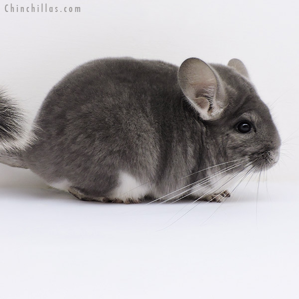 16117 Premium Production Quality Violet Female Chinchilla