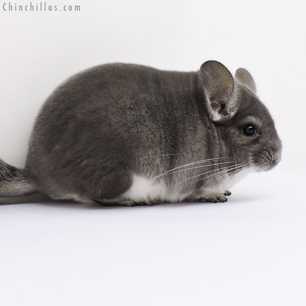16118 Blocky Premium Production Quality Violet Female Chinchilla