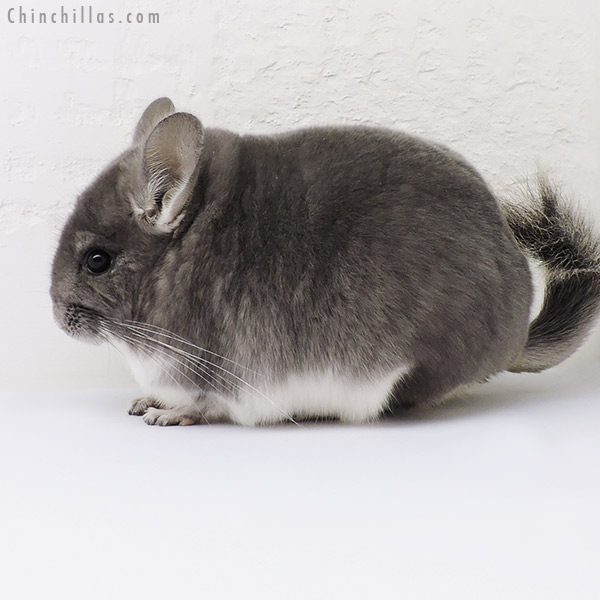 16119 Show Quality Violet Female Chinchilla