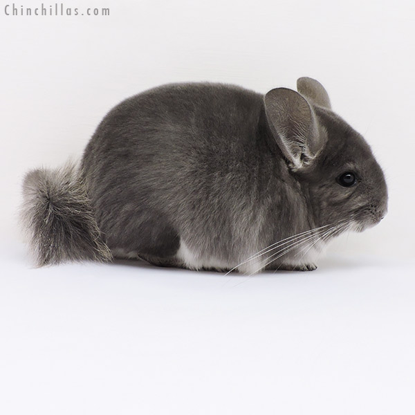 16121 Show Quality Violet Male Chinchilla