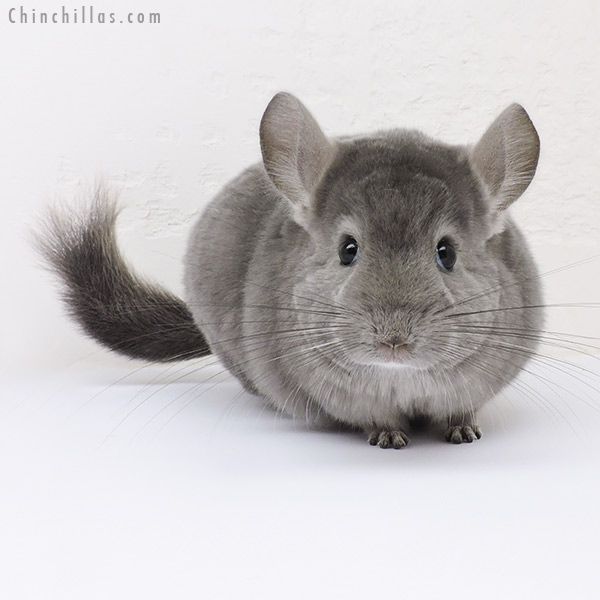 16122 Show Quality Light Wrap Around Violet Male Chinchilla