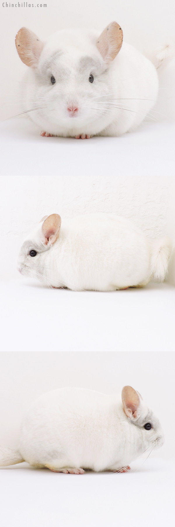 16126 Blocky Show Quality Pink White Male Chinchilla