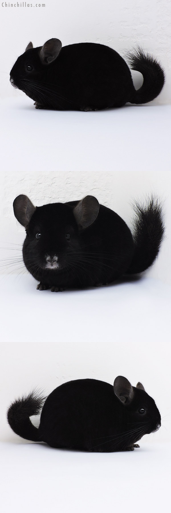 16124 Show Quality Ebony Male Chinchilla