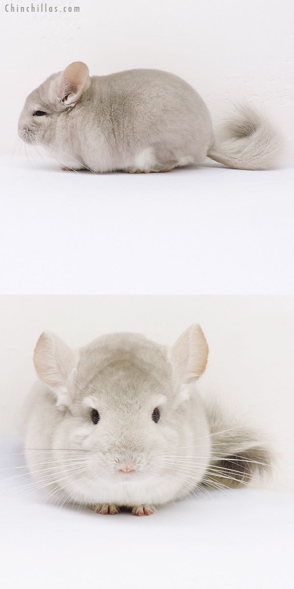 16129 Blocky Herd Improvement Quality Beige / Violet Male Chinchilla