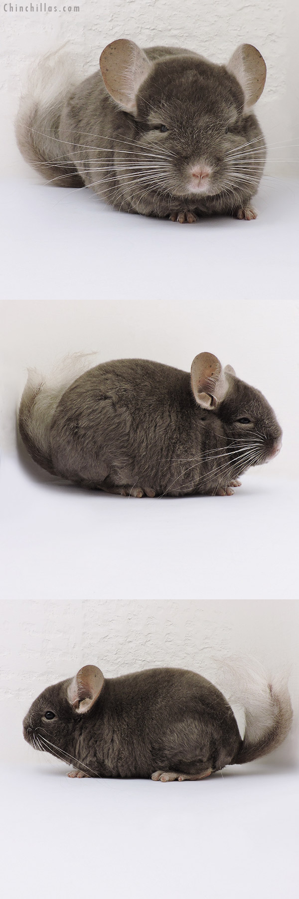 16130 Dark Tan Quasi Locken Male Chinchilla
