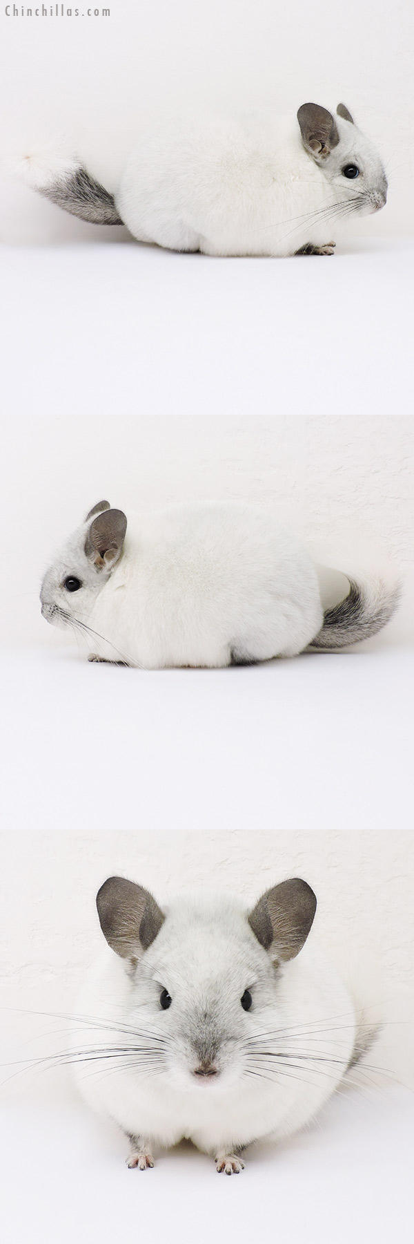 16134 Blocky Show Quality White Mosaic Female Chinchilla