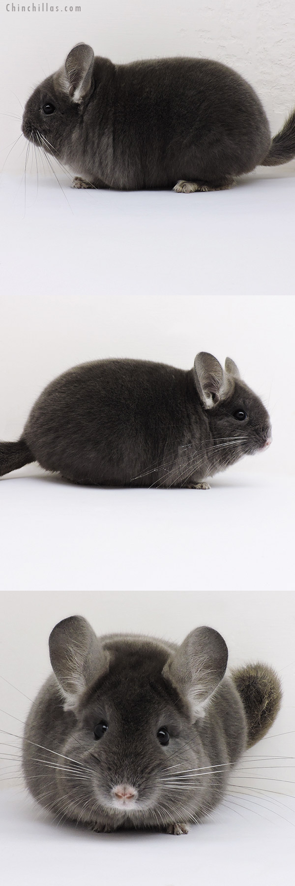 16136 Blocky Top Show Quality Wrap Around Violet Male Chinchilla