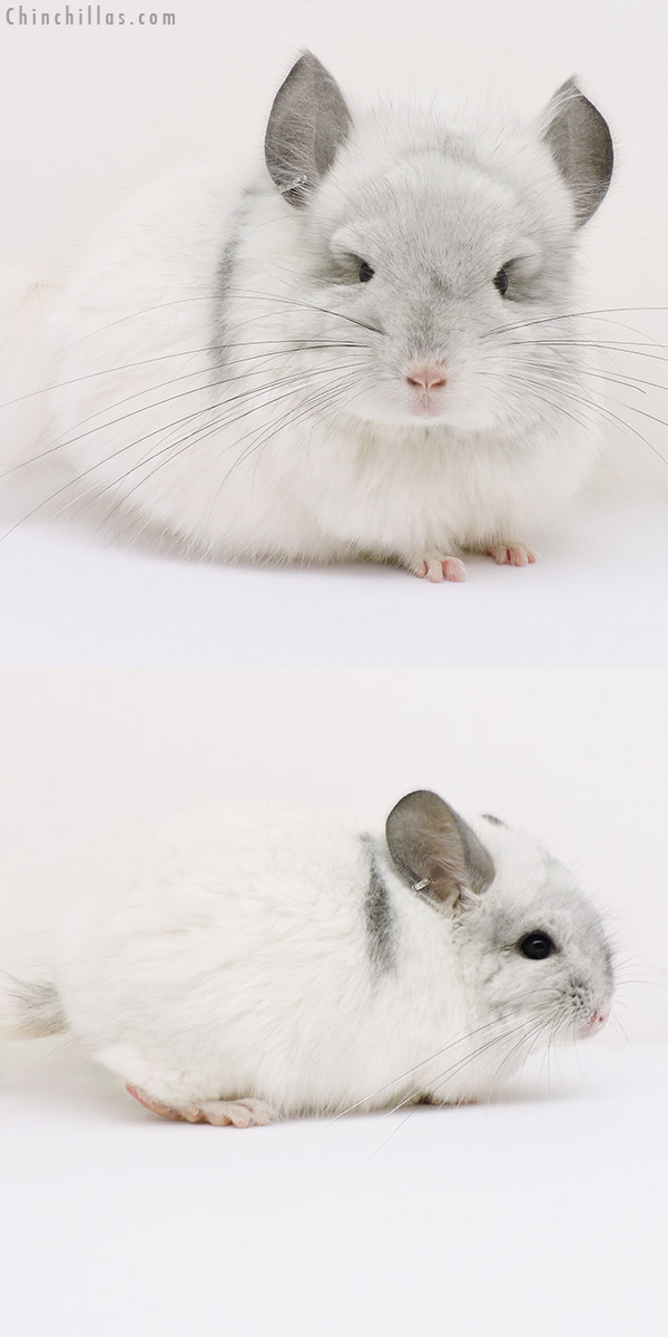 16139 White Mosaic CCCU Royal Persian Angora Male Chinchilla