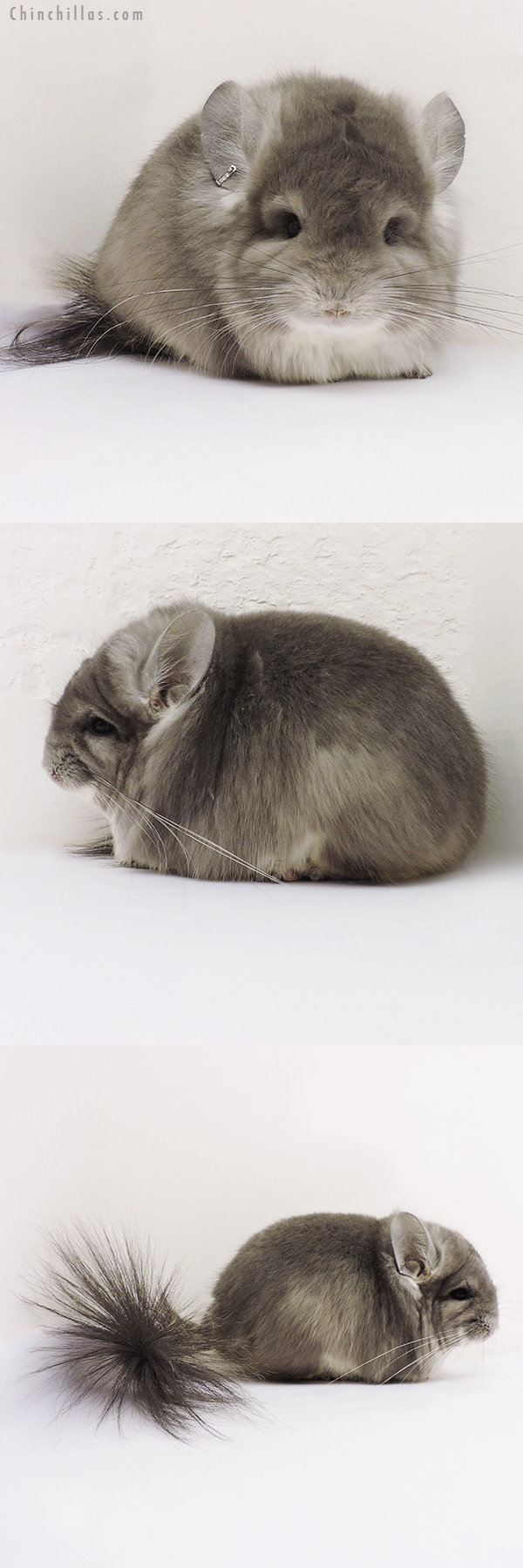 16148 Exceptional Violet CCCU Royal Persian Angora Male Chinchilla