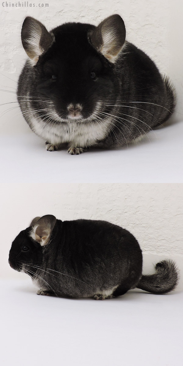 16151 Blocky Brevi Type Show Quality Black Velvet Male Chinchilla