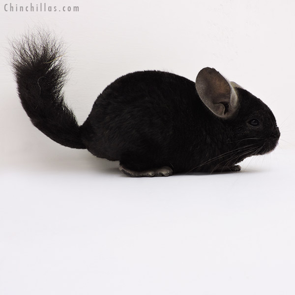 Chinchillas.com Auction - 16157 Ebony Quasi Locken Female ...