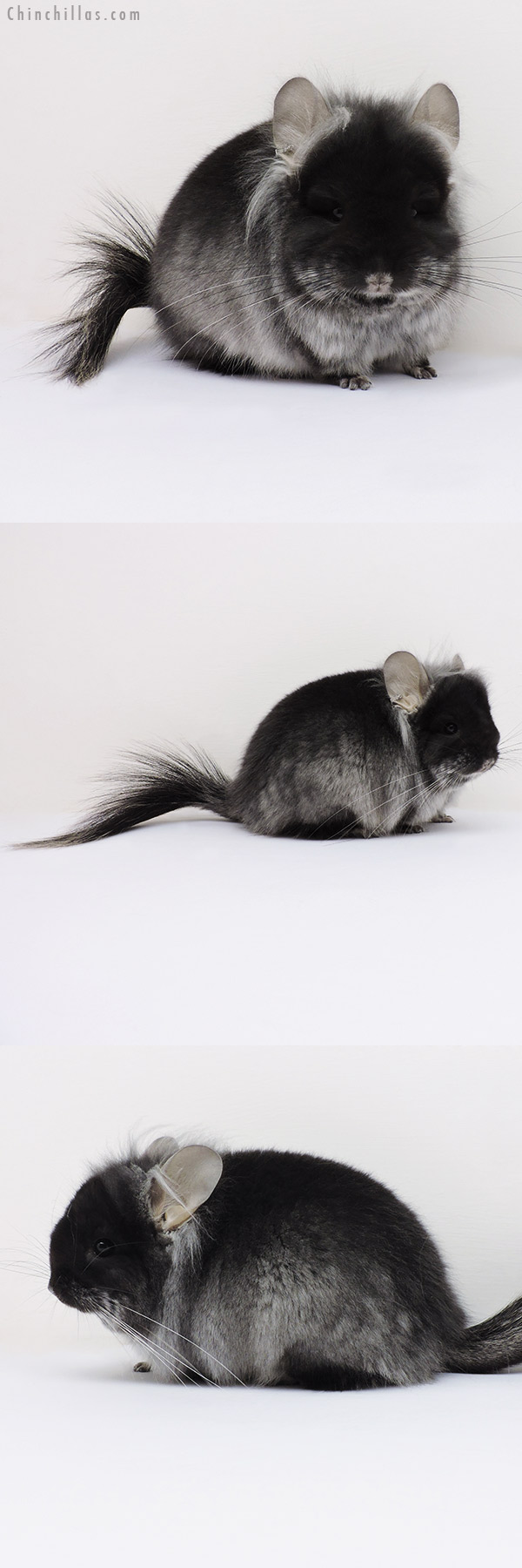 16163 Exceptional Black Velvet ( Violet Carrier ) G2 CCCU Royal Persian Angora Male Chinchilla